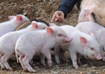 猪肉涨了,养猪大户们赚到钱了吗?